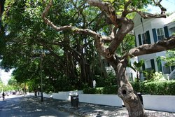 Group of large Ficus Trees in Key West.jpg