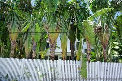 Row of tall Palm trees behind white fence in Key West.jpg
