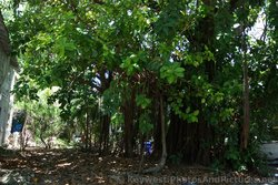 Rubber Ficus Trees in Key West.jpg