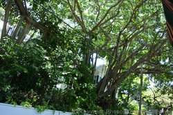 Ficus Tree in Key West.jpg